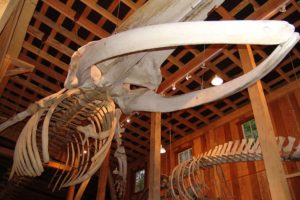 Whale Interpretive Centre - Fin Whale